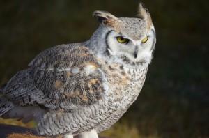 snowy-owl-1498726_960_720