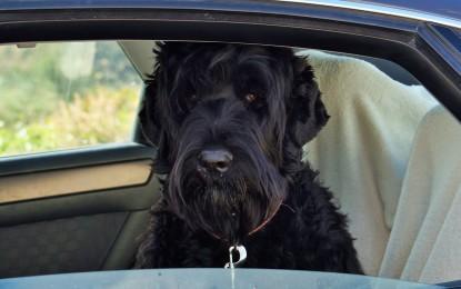 Fellpflege beim Schwarzen Terrier