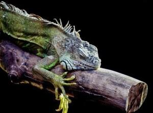 iguana-316738__340
