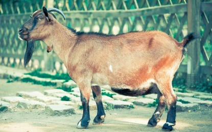 Die Ziege – Das meckernde Nutztier