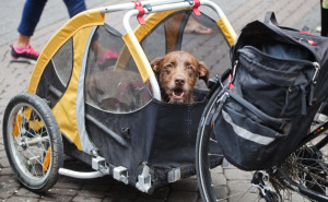 Hund im Fahrradanhnger