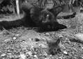Katzen helfen nur bedingt gegen Ratten
