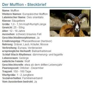 01 Der Mufflon - Steckbrief
