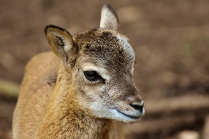 mouflon-3335837_960_720