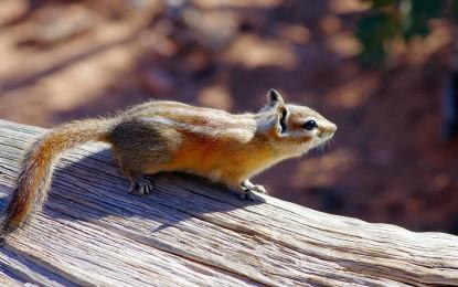 Streifenhörnchen als Haustier
