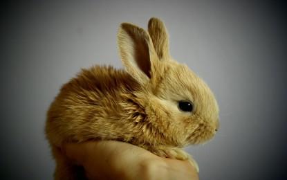 Dekorative Kaninchen: Was Sie über die pelzigen Haustiere wissen müssen