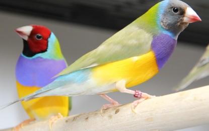 Die Gouldamadine – Ein echtes Farbwunder