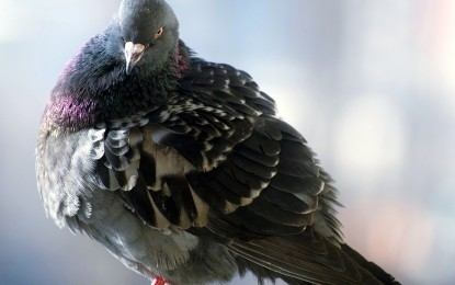 Die Taube(n)