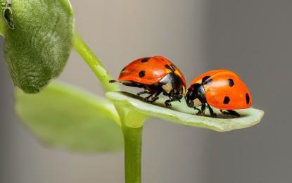 Der Marienkäfer – Ein Symbol von Glück und Hoffnung