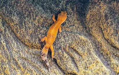 Der Leopardgecko – Ein Einzelgänger oder Gruppentier?