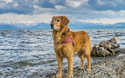 Der Golden Retriever – Aus tiefster Seele treu