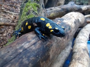 fire-salamander-644130_960_720