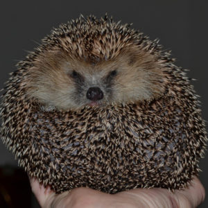 hedgehog-644649_960_720