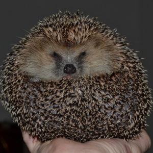 hedgehog-644649_960_720