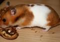 Der Schecken-Hamster