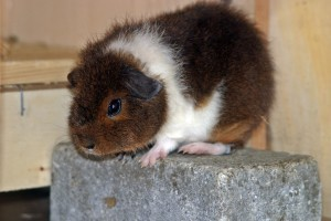 guinea-pig-243026_960_720