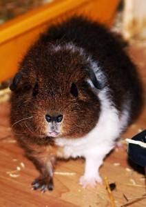 rex-guinea-pig-243535_960_720