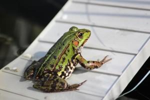frog-pond-1638782_960_720