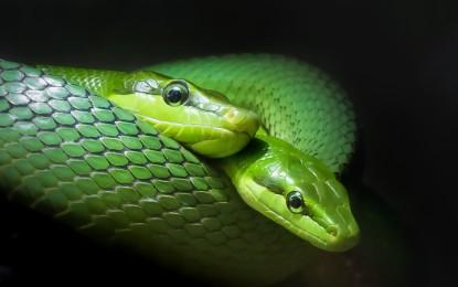 Die Spitzkopfnatter (Gonyosoma oxycephalum)