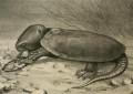 Die Großkopfschildkröte(Platysternon megacepalum)