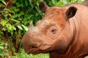 fotos-del-rinoceronte-de-sumatra