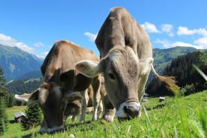 kuhe-kuh-osterreich-weide