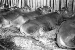 """Zentralbild - Wittig 17.1.1958 Gesundes Vieh - tbc-freie Milch seit dem 19.12.1957 ist das Milcheinzugsgebiet der Genossenschaftsmolkerei in Mühlberg-Krs. Gotha das 20 Orte umfaßt, tbc-frei. UBz: Blick in den Rinderstall der LPG """"Einheit"""" in Wechmar-Krs. Gotha. Der 1955 gebaute Stall bietet Platz für 90 Kühe und ist mit elektrischer Melkanlage versehen. In diesem Stall gedeiht gesundes, kräftiges Vieh, das die Voraussetzungen für die Lieferung tbc-freier Milch bietet."""