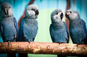 """Eine Gruppe von jungen Spix-Ara-Papageien bei ACTP. Pünktlich zum diesjährigen World Wildlife Day, treffen heute 52 in Berlin gezüchtete Spix-Ara-Papageien, 49 aus der ACTP-Zentrale in Berlin, 3 von Pairi Daiza in Belgien, in Brasilien ein - dort sollen sie in den nächsten Monaten auf ihre Wiederansiedlung und das weitere Leben in freier Wildbahn vorbereitet werden. Mehr Informationen auf www.act-parrots.org, unter www.pressebox.de/newsroom/actp-ev und #spixsAreComingHome. Weiterer Text über ots und www.presseportal.de/nr/116276 / Die Verwendung dieses Bildes ist für redaktionelle Zwecke honorarfrei. Veröffentlichung bitte unter Quellenangabe: """"obs/ACTP e. V."""""""