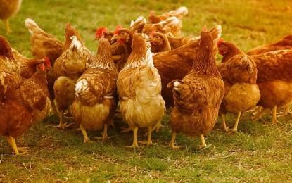 TÜV SÜD: Zweinutzungshühner vermeiden Kükentöten