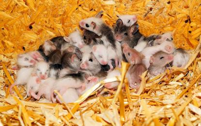 Gefahr vor Mäuseplagen steigt erheblich