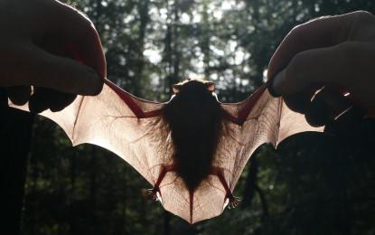 Fledermäuse sind in Agrarlandschaften auf die gemeinsame Jagd mit Artgenossen angewiesen