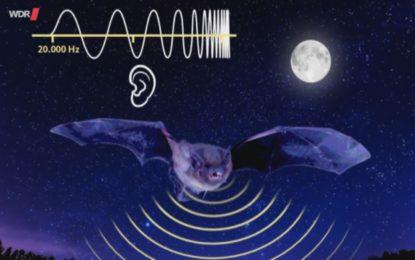 Wenn es laut ist, wird Echoortung für Fledermäuse teuer