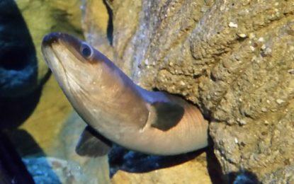"""LAV-Aktion """"Rettet den europäischen Aal"""""""