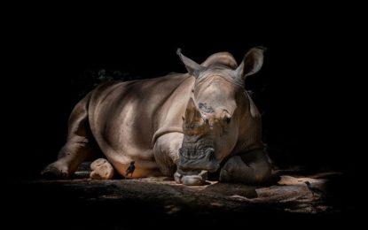 Munus Augen: FLIP Perimeter Solution sichert die letzten Nashörner der Welt