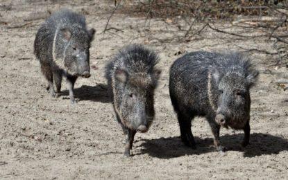 Auf der Spur neuartiger Krankheitserreger bei Wildtieren: Erste wissenschaftliche Beschreibung einer bislang unbekannten Streptokokkenart von Chaco-Pekaris