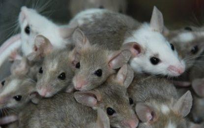 Um Mäusepopulationen effektiv zu dezimieren empfiehlt es sich diese vor dem Winter zu schwächen. Denn eine Maus im Herbst kann acht Mäuse im Frühjahr bedeuten