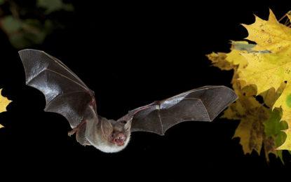 Beleuchtung von Höhlen vertreibt Fledermäuse – die Farbe des Lichts spielt nur untergeordnete Rolle